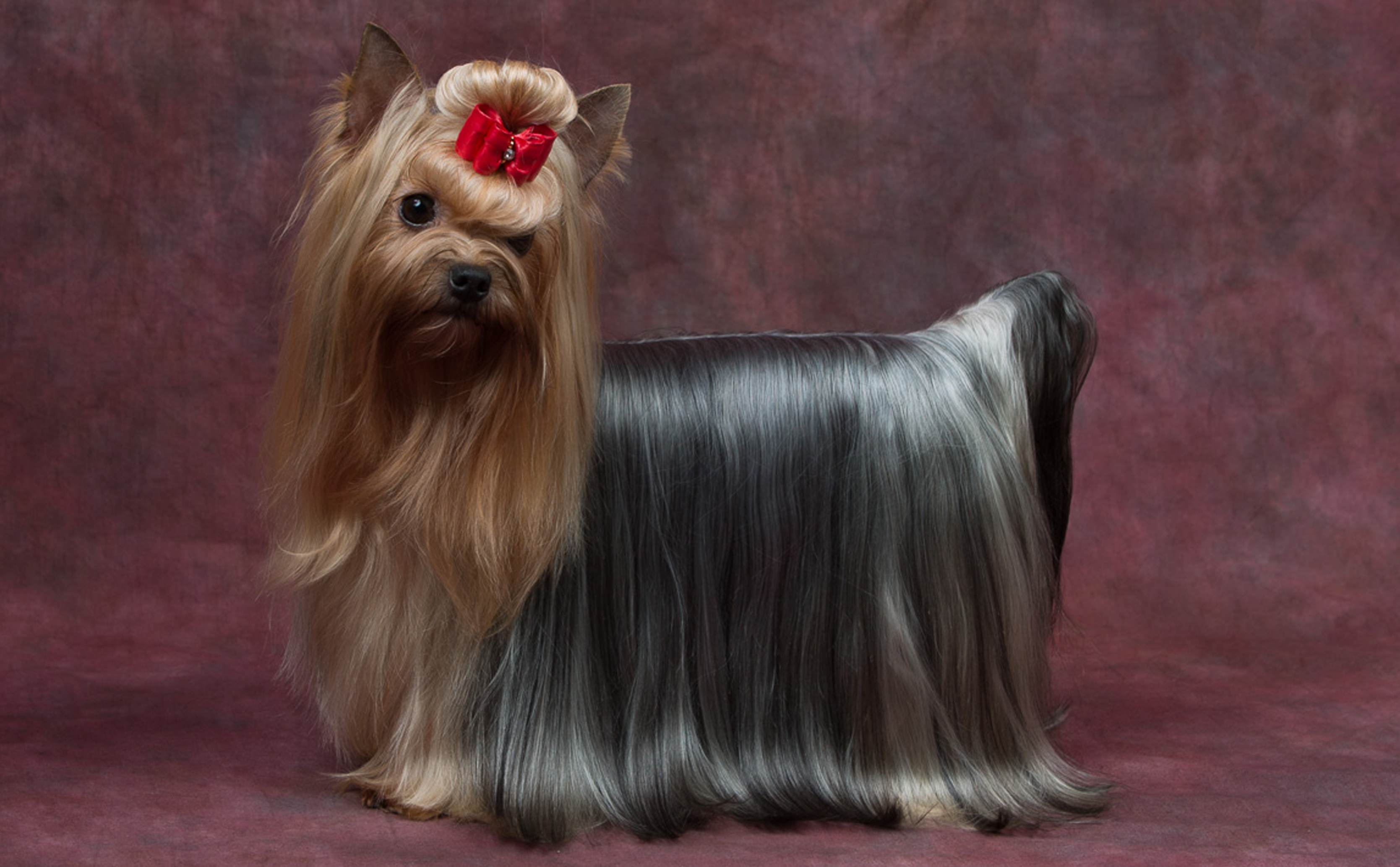Home Topknot Yorkshire Terriers