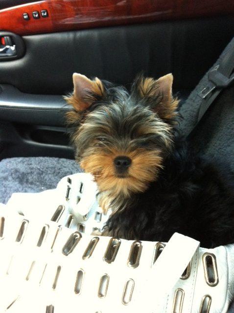 pele-purse-puppy-jpg