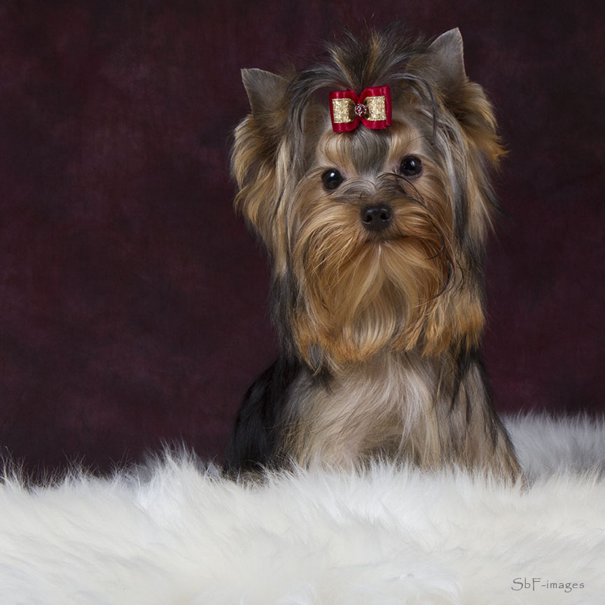 About Me - TopKnot Yorkshire Terriers